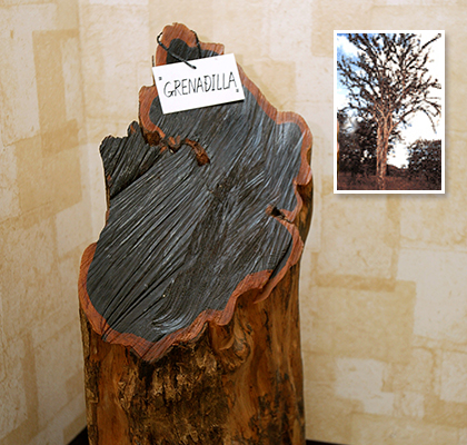 Cross section of a trunk of the grenadilla tree